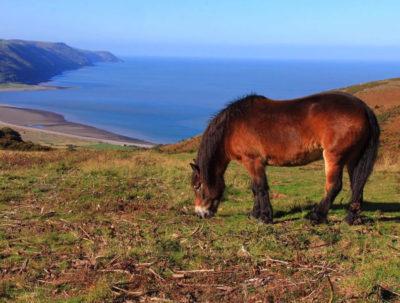 Exmoor Ponies and view over Exmoor